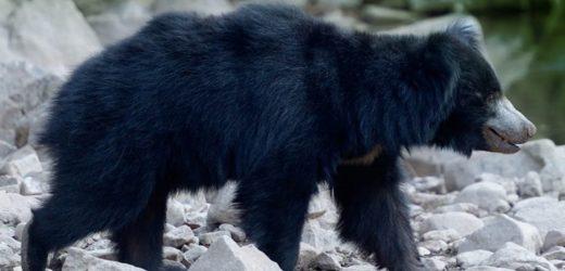 यहां खुलने जा रहा है प्रदेश का पहला 'भालू अभ्यारण्य'